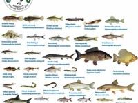 Posielanie rybárskych povoleni poštou prebieha